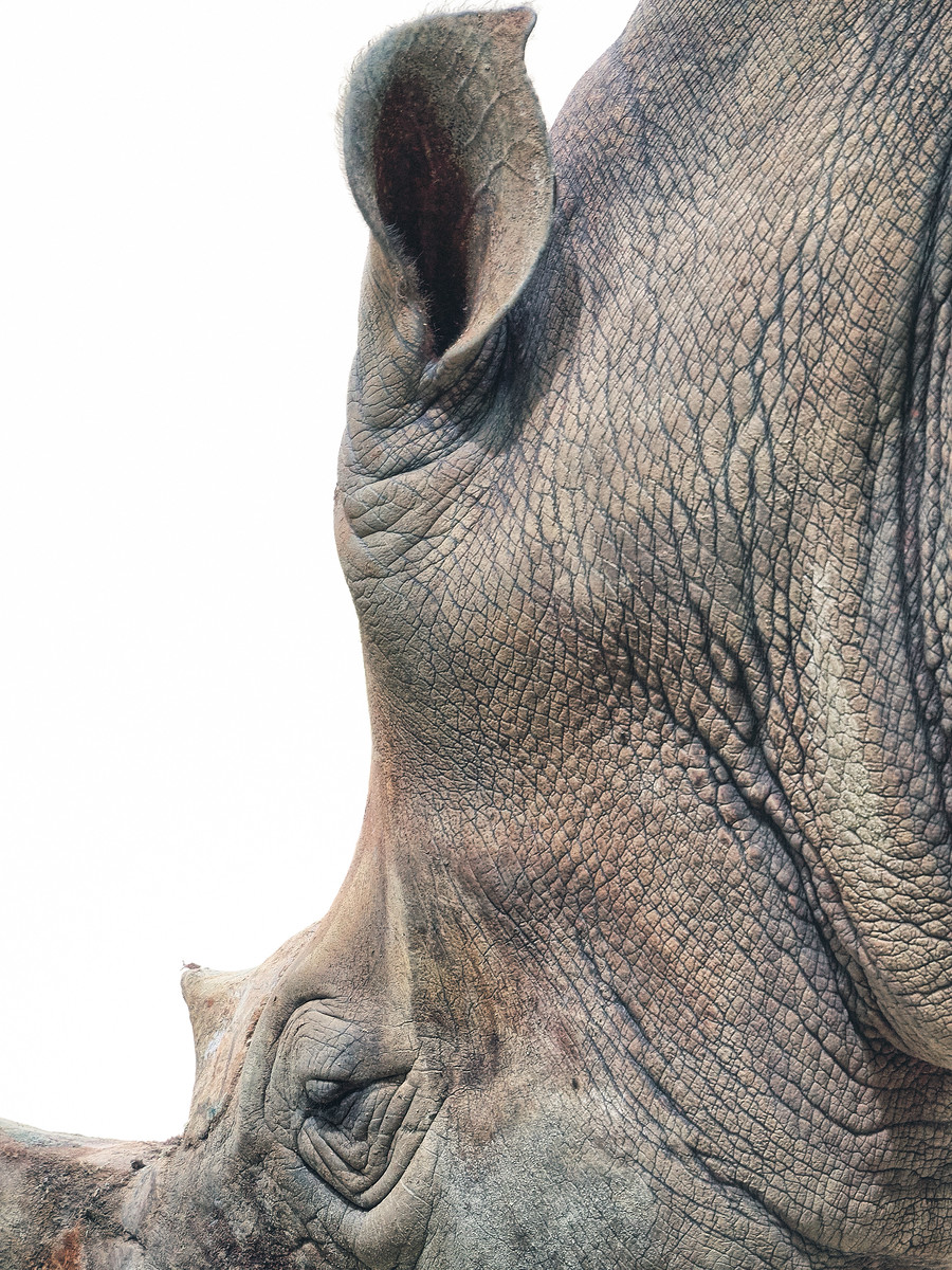 Closeup of a White Rhinoceros