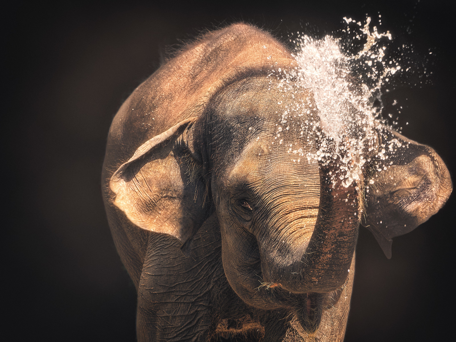 Asian Elephant spraying water