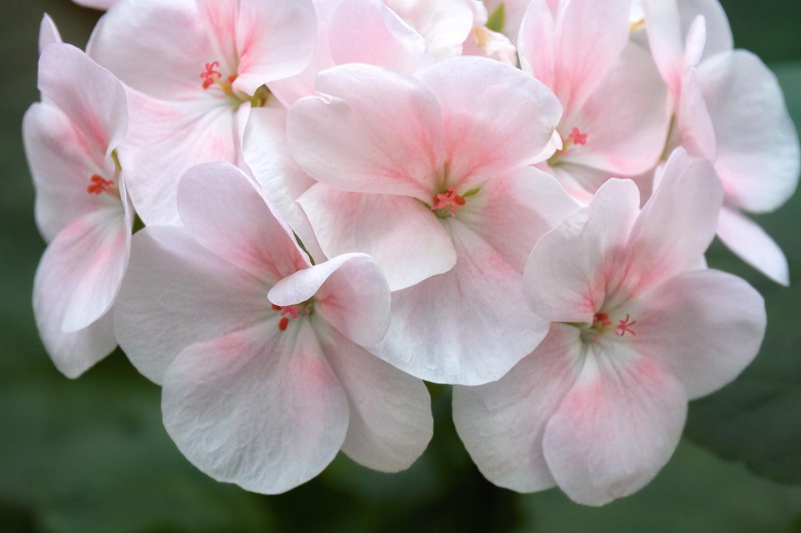 White Pink Geranium Flowers