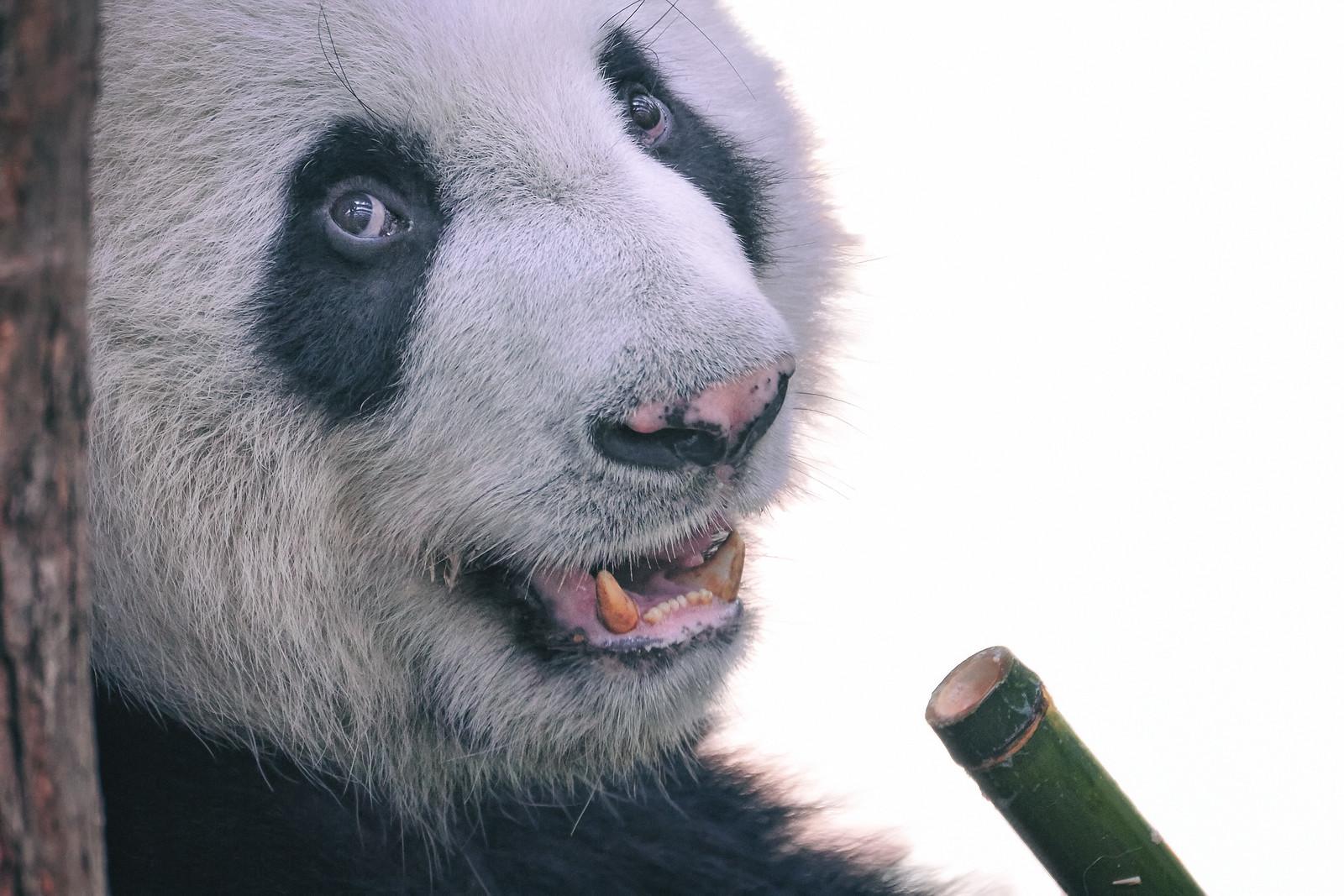 Panda Kai Kai Singapore