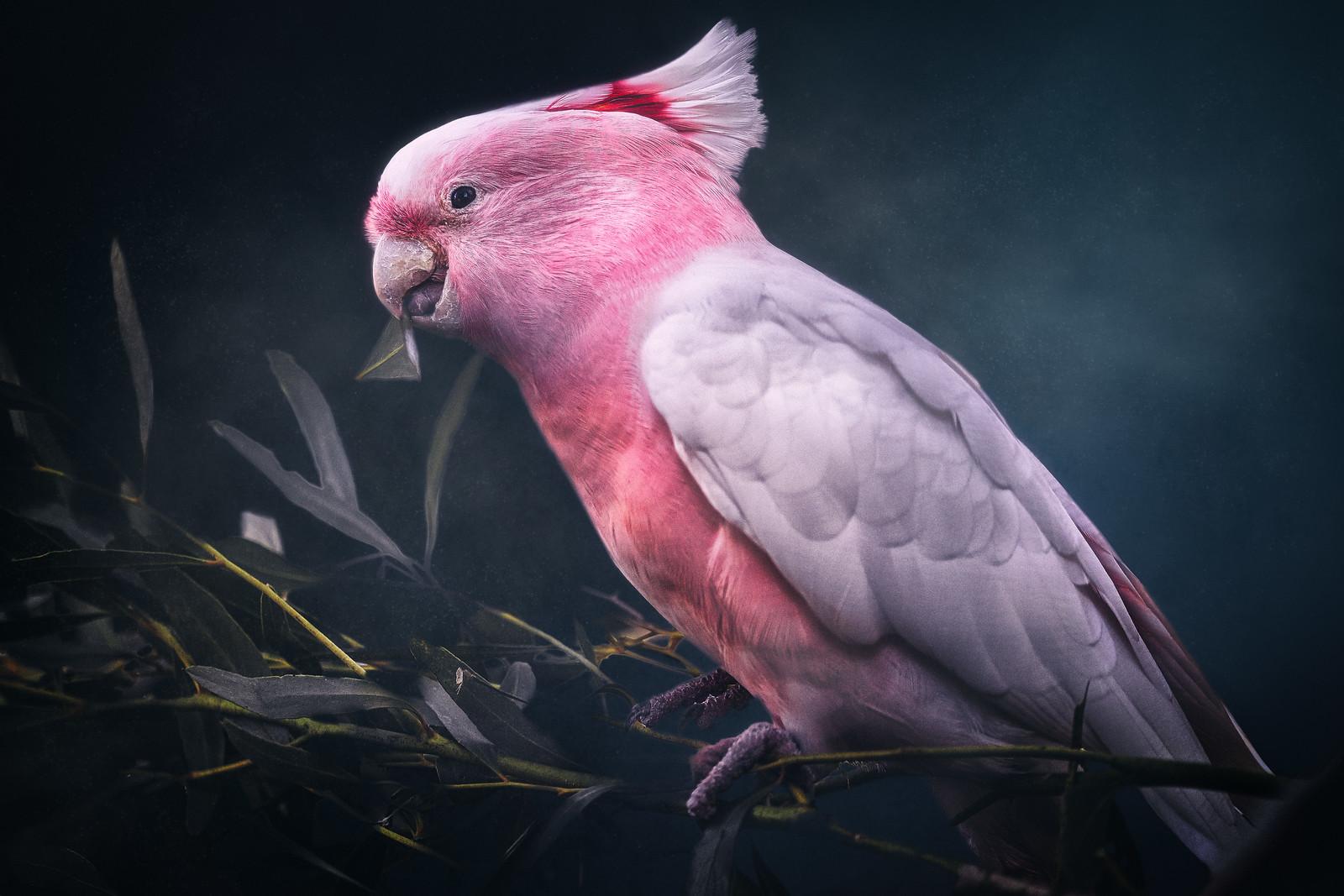 Galah Cockatoo Bird