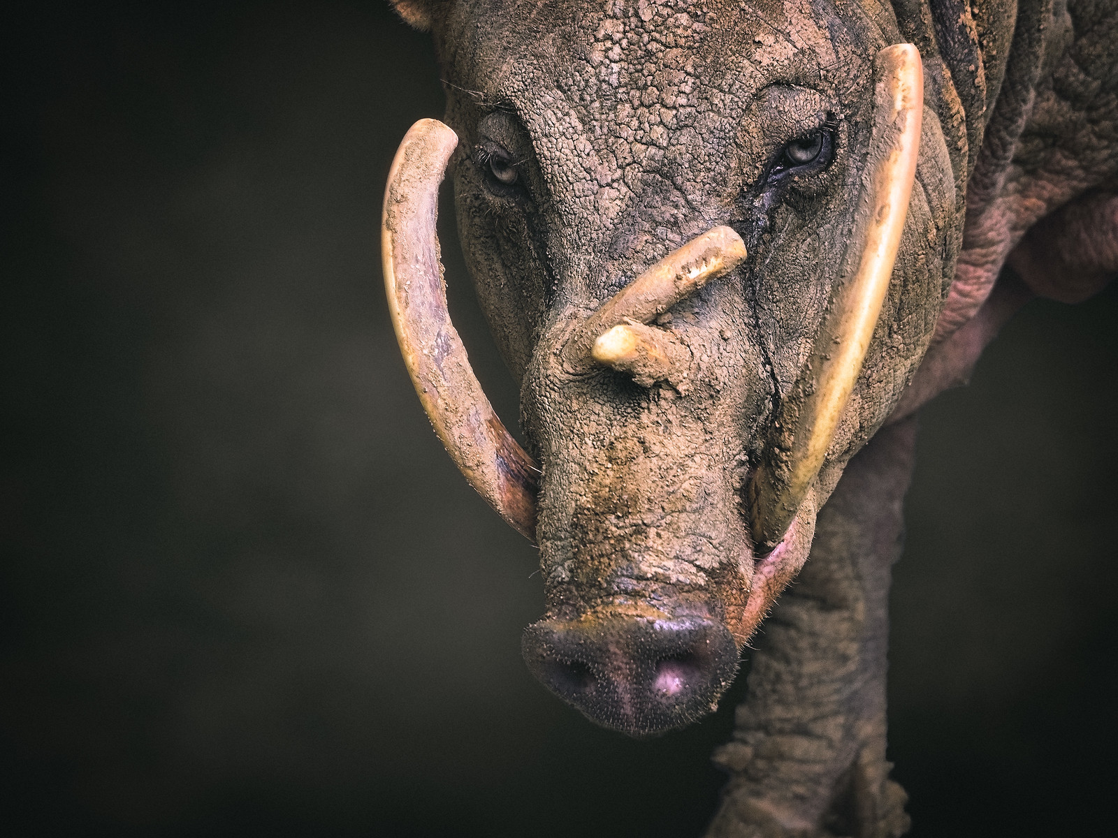 Closeup of a Babirusa