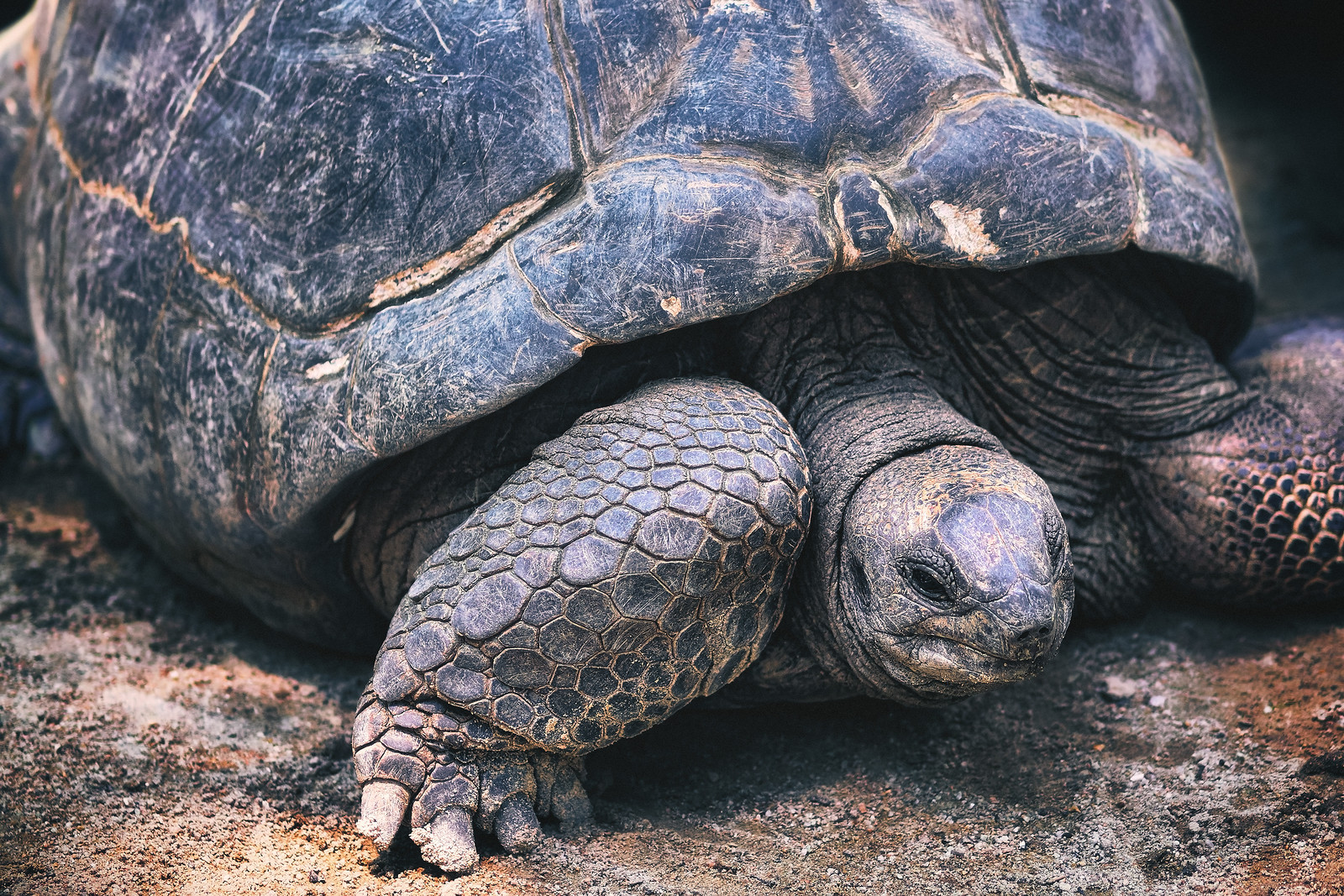 Giant Tortise