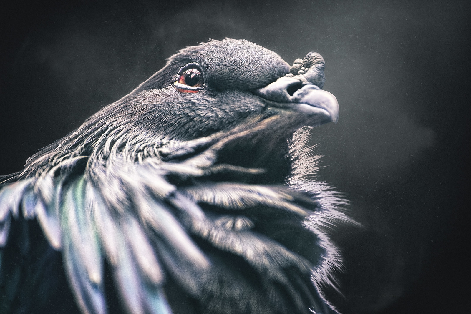 Closeup of a Nicobar Pigeon