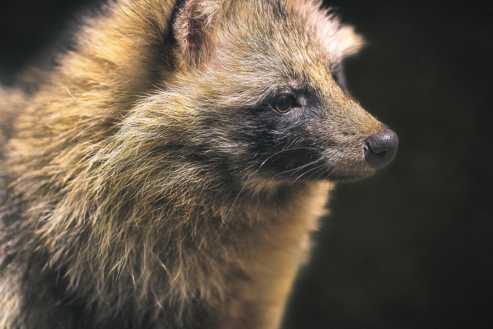 Closeup of a Raccoon Dog