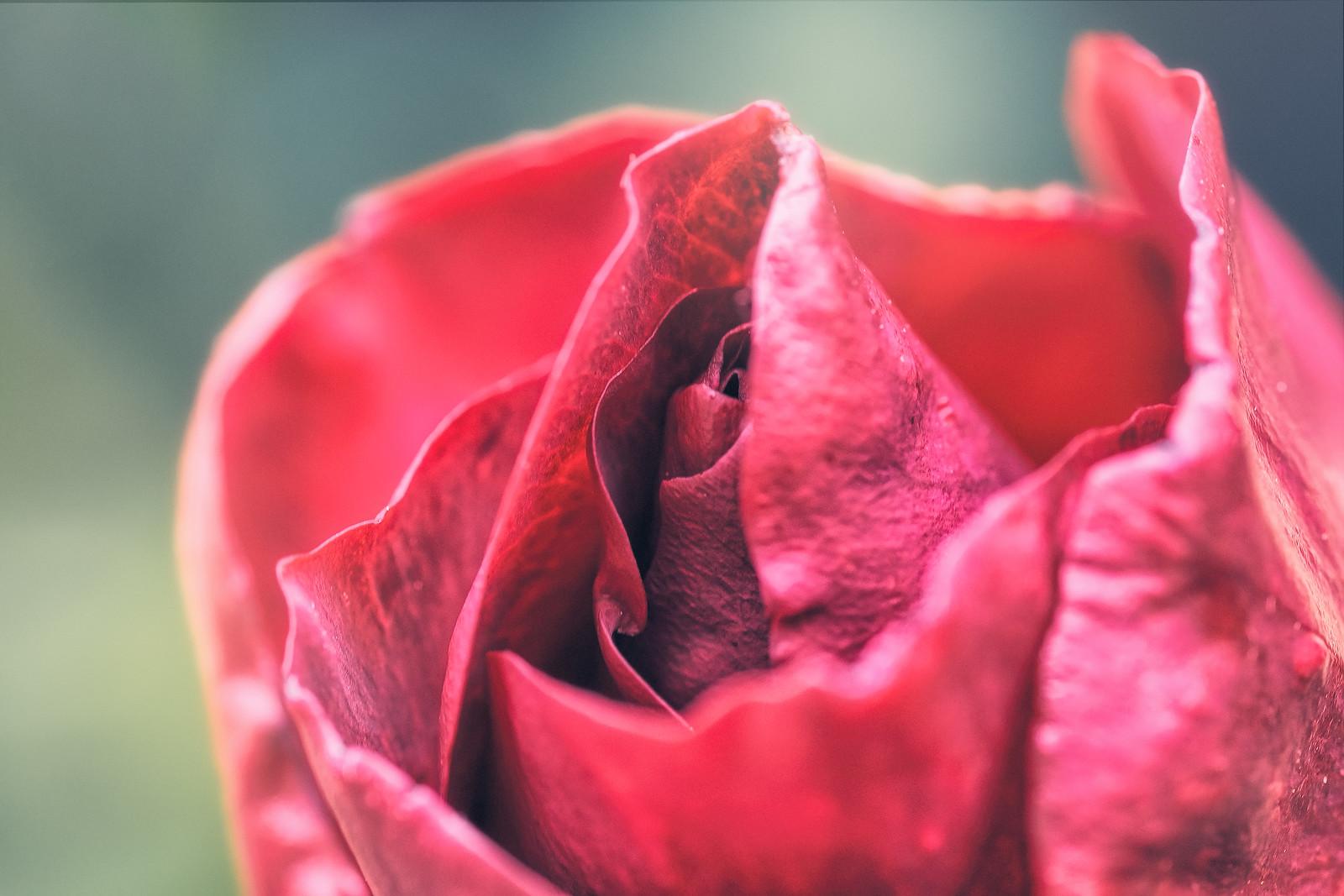 Red Roses Flower
