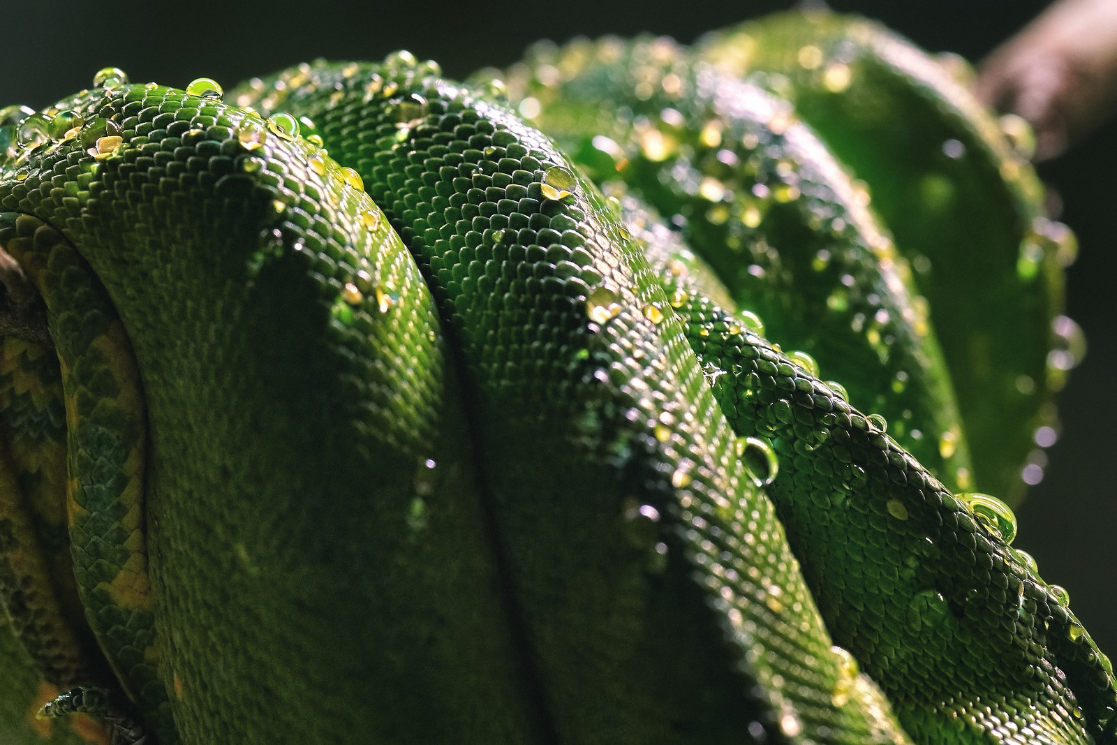 Scales of a Green Tree Python