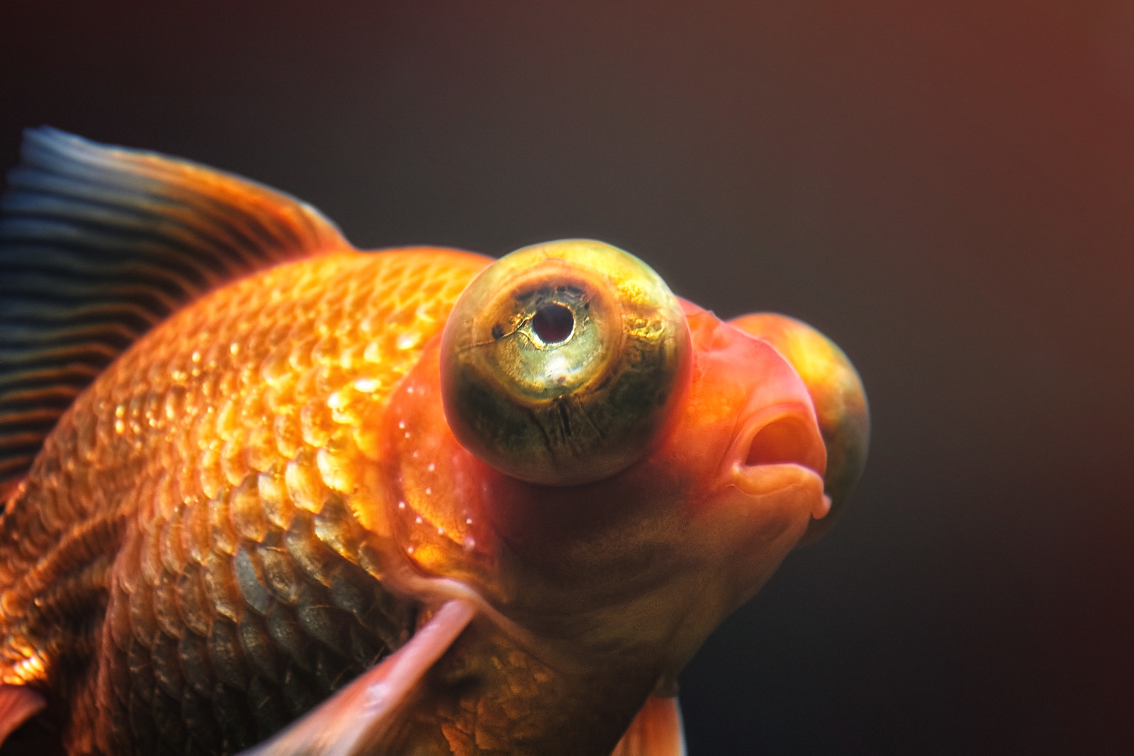love song with two goldfish Write a commentary of â€⃜(love song, with two goldfish)' by grace chua.