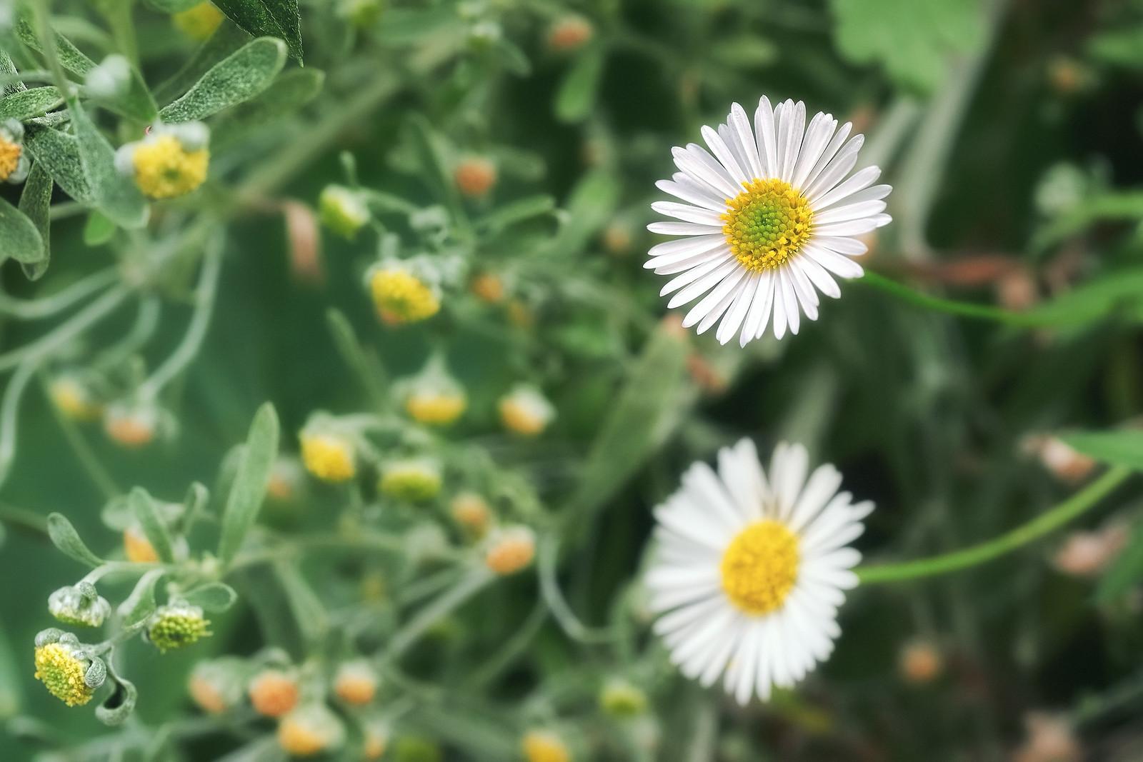 Common Daisies Flower