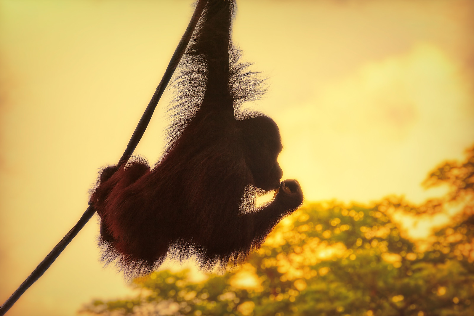 Silhouette of an Orangutan