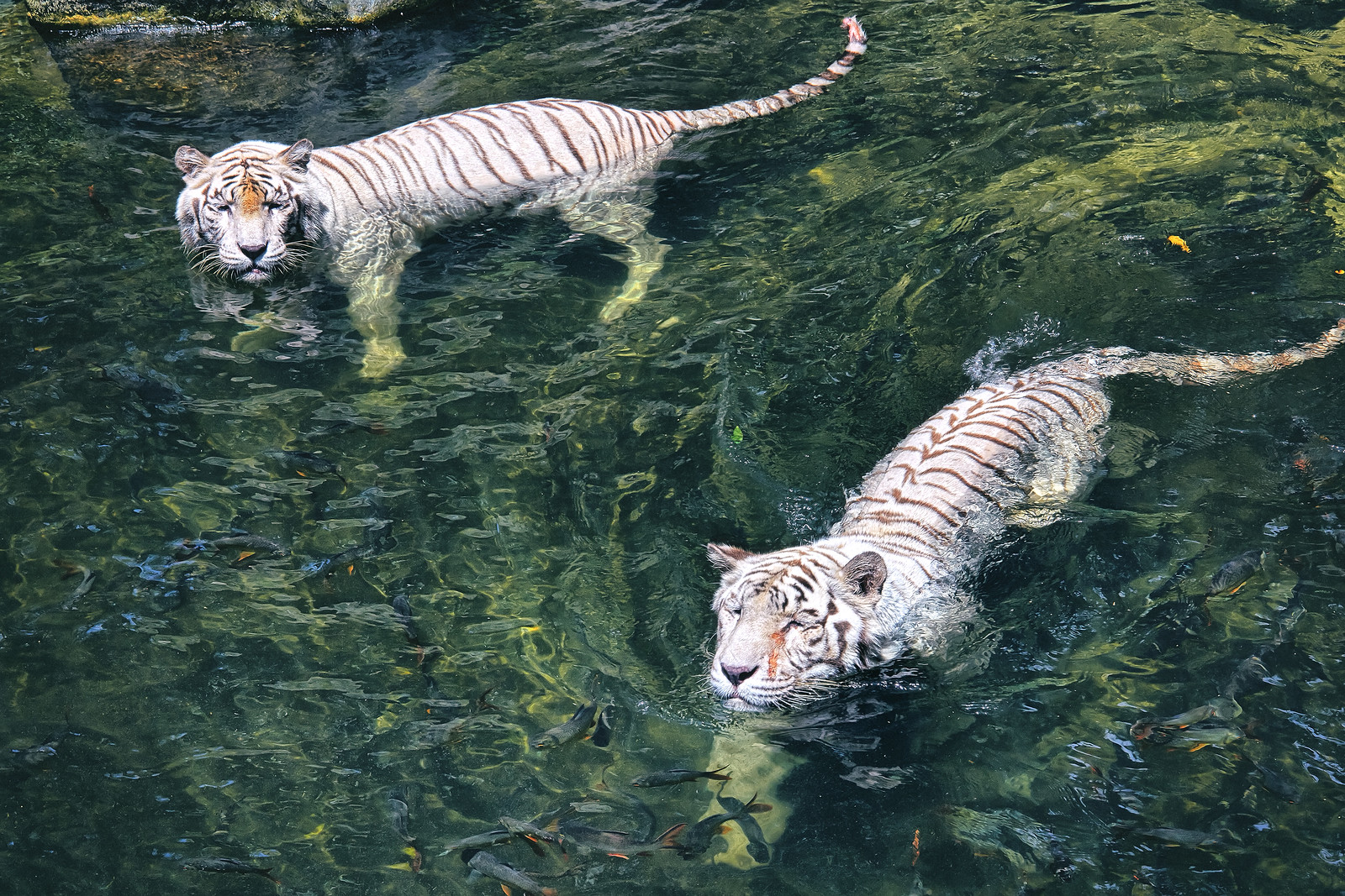 White Tigers swimming