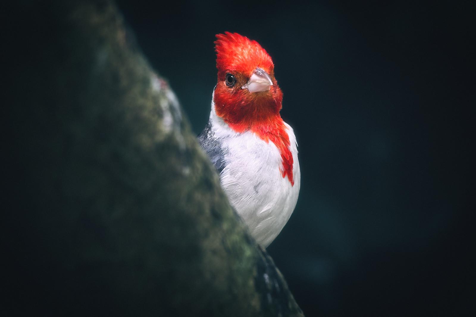 Red-Crested Cardinal Bird