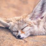 Fennec Fox Sleeping