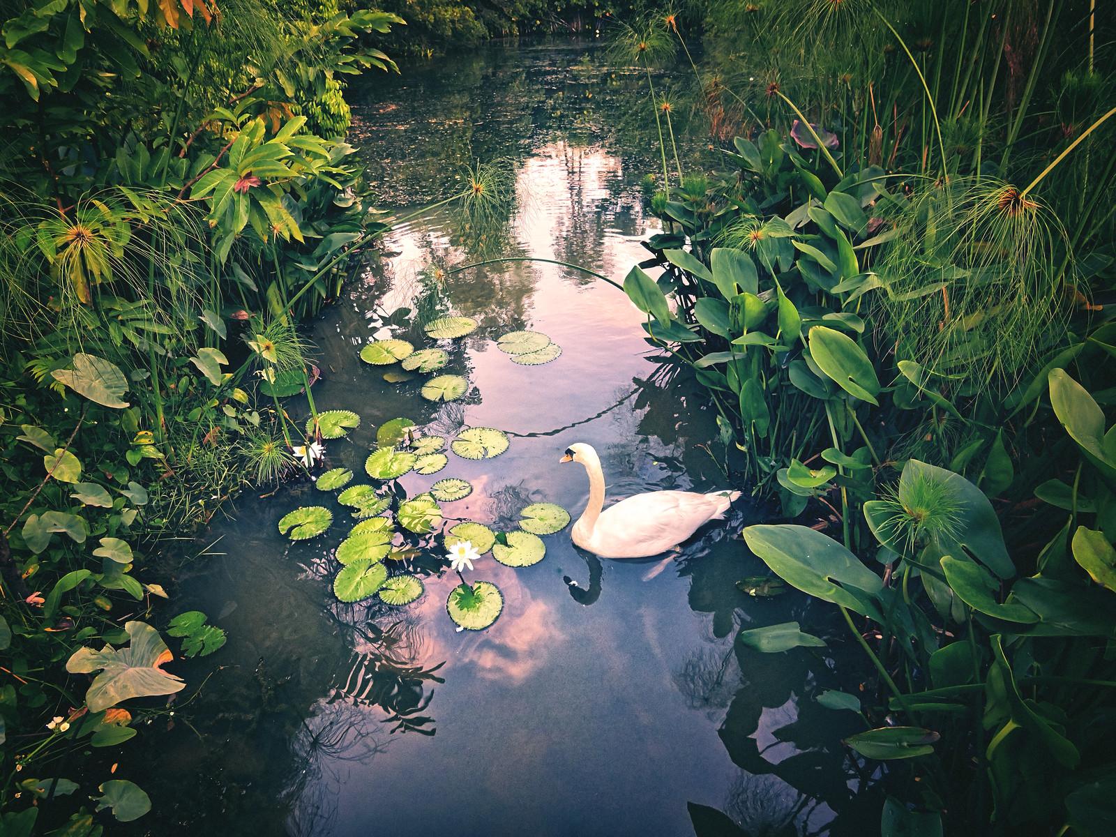 A Swan at Botanical Gardens Singapore