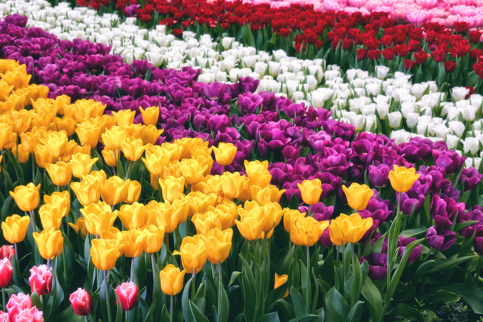 Rows of Tulips Flower
