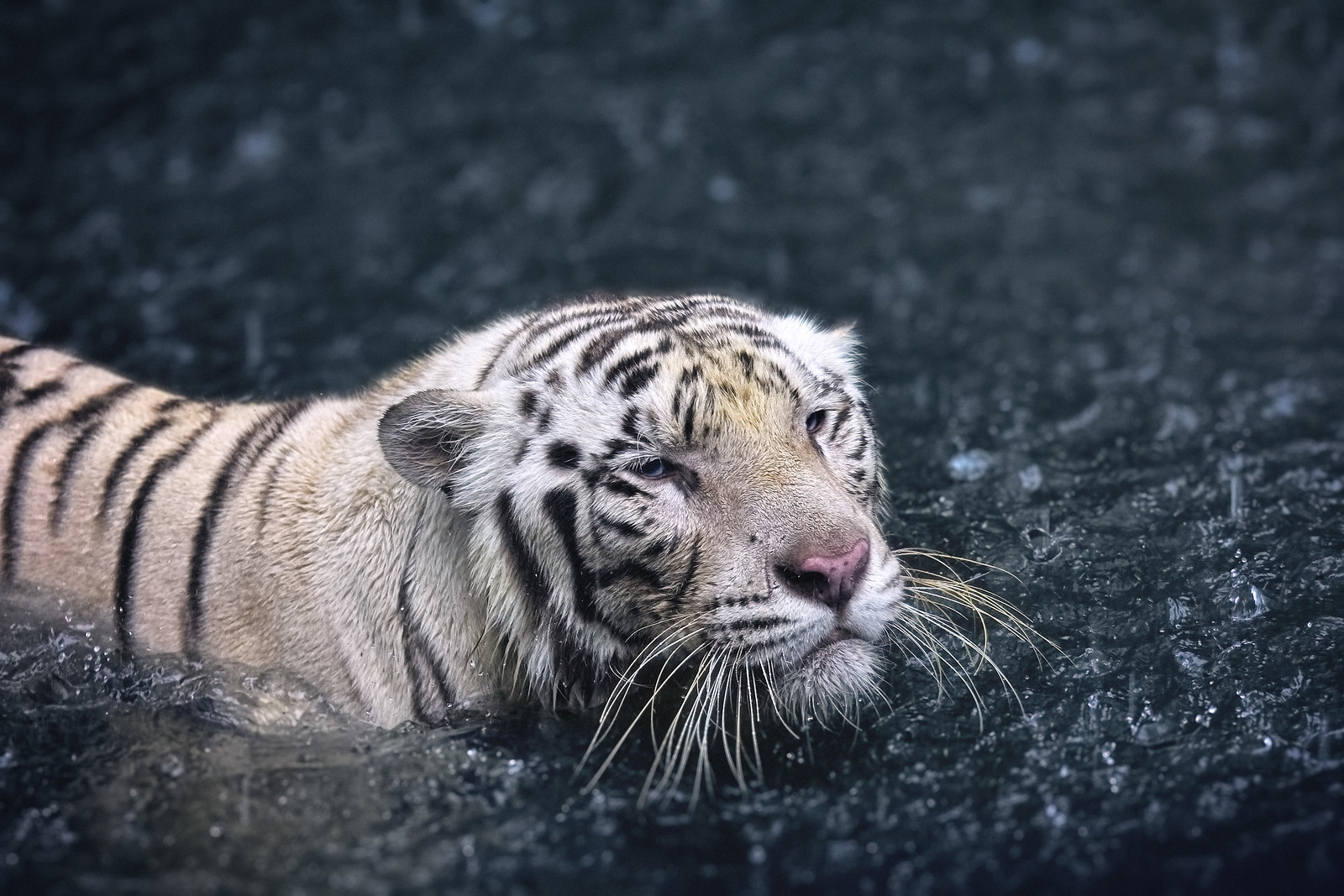 White Tiger swimming under the Rain