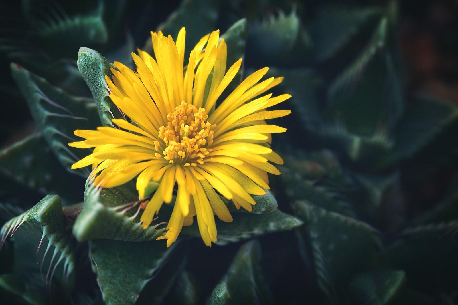 Yellow Cactus Flower Succulent Plant