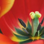 Pistil of Red Tulip Flower