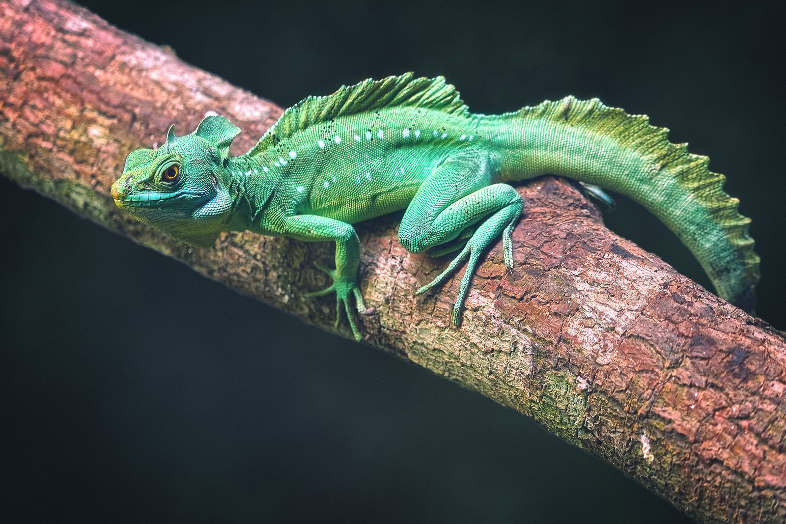 Green Plumed Basilisk Lizard