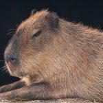 Closeup of a Capybara