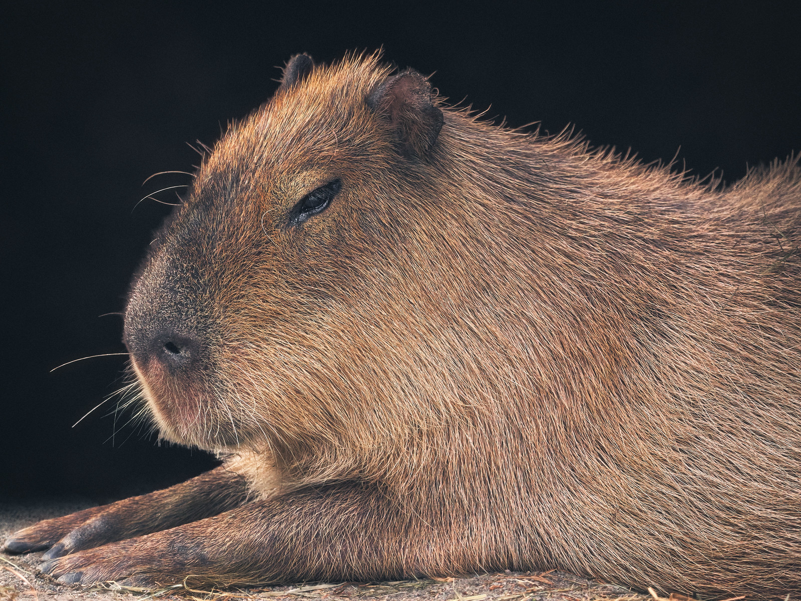 Closeup of a Capybara