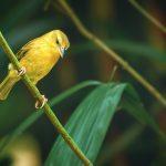 Saffron Finch Bird