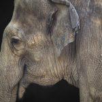 Closeup of an Asian Elephant