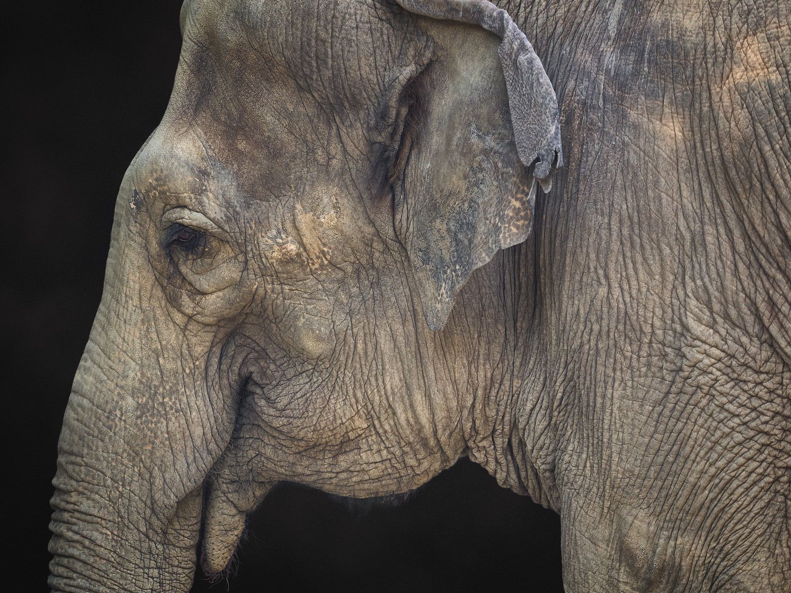 Closeup of an Asian Elephant