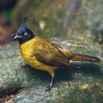 Black Crested Bulbul Bird