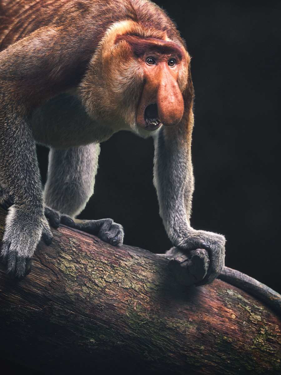 Proboscis Monkey Aggression