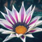 White with Purple Stripes Treasure Flower Gazania Rigens