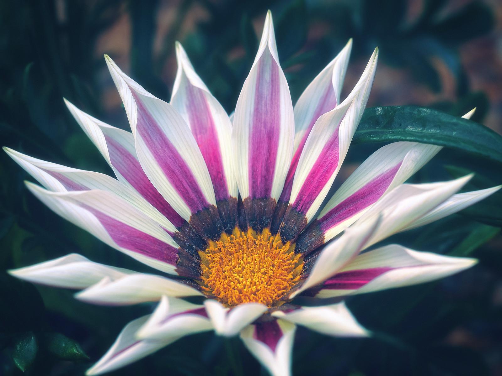 White with Purple Stripes Treasure Flower Gazania Rigens