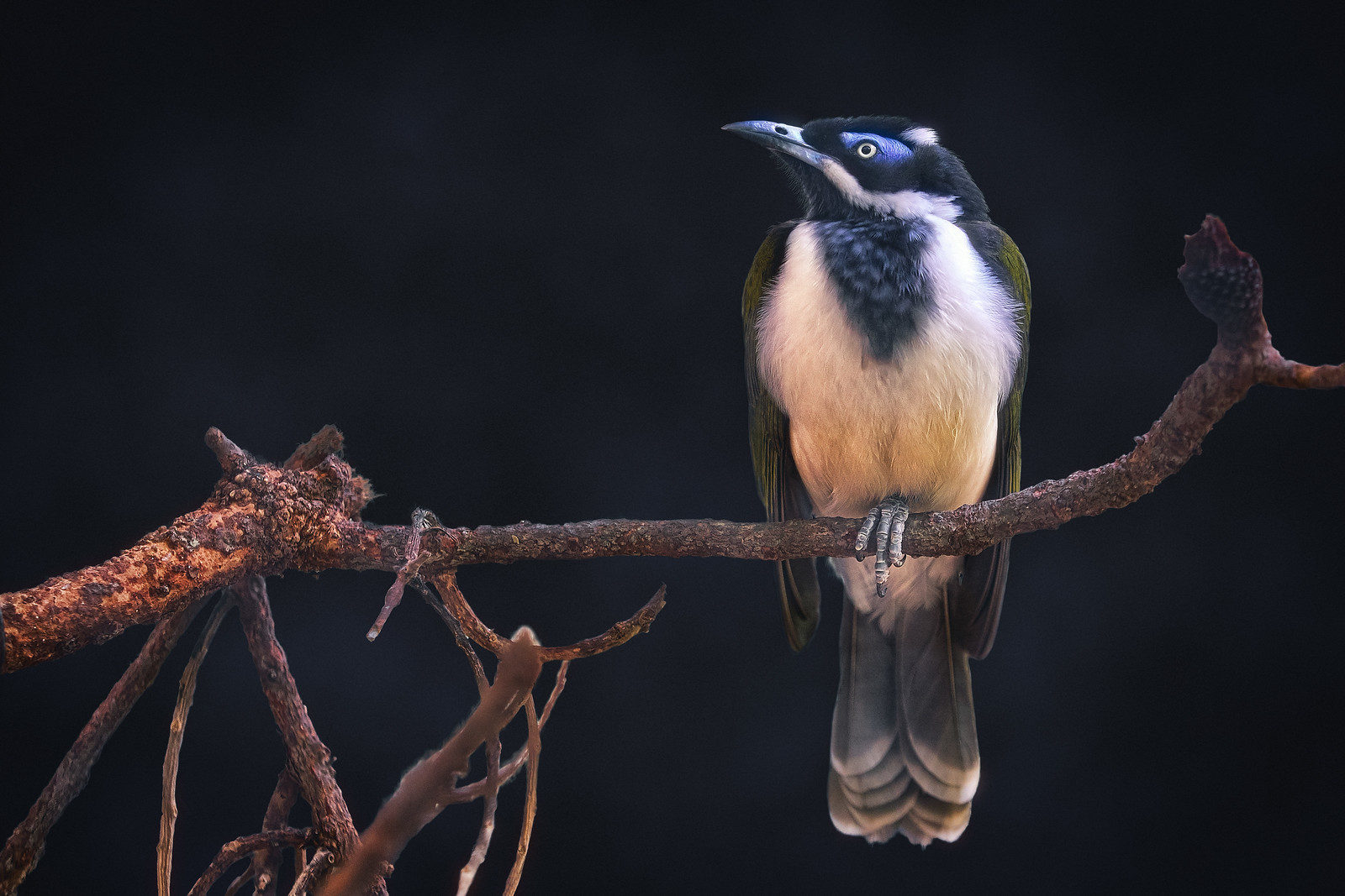 The Blue-faced Honeyeater Bird