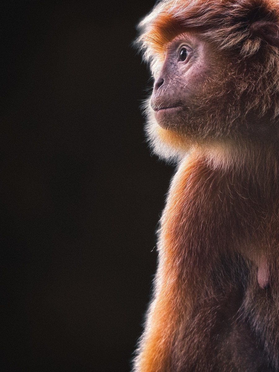 Portrait of a Javan Langur