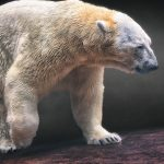Inuka the Polar Bear