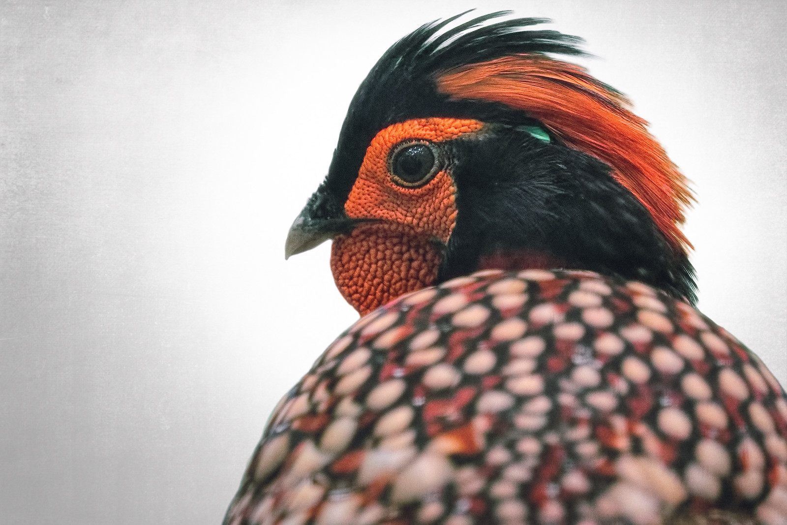 Cabot Tragopan Pheasant Bird