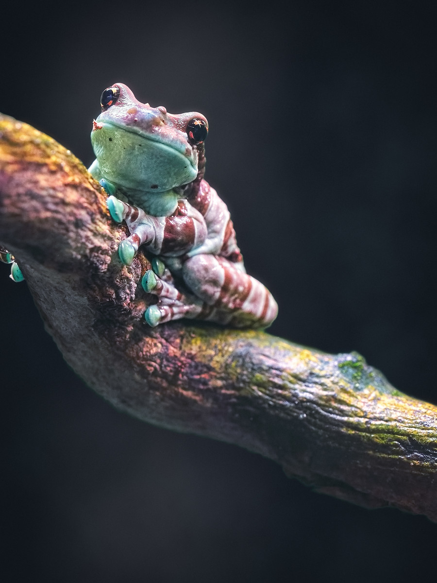 Closeup of an Amazon Milk Frog
