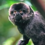 Portrait of a Goeldi's Marmoset Monkey