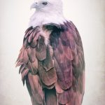 Brahminy Kite Eagle Bird of Prey