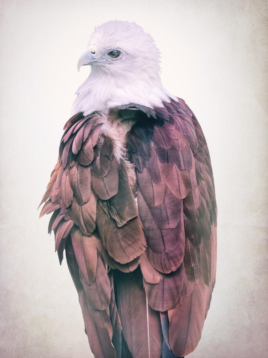 Brahminy Kite Eagle Bird of Prey