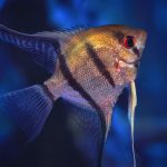 Closeup of an Angelfish