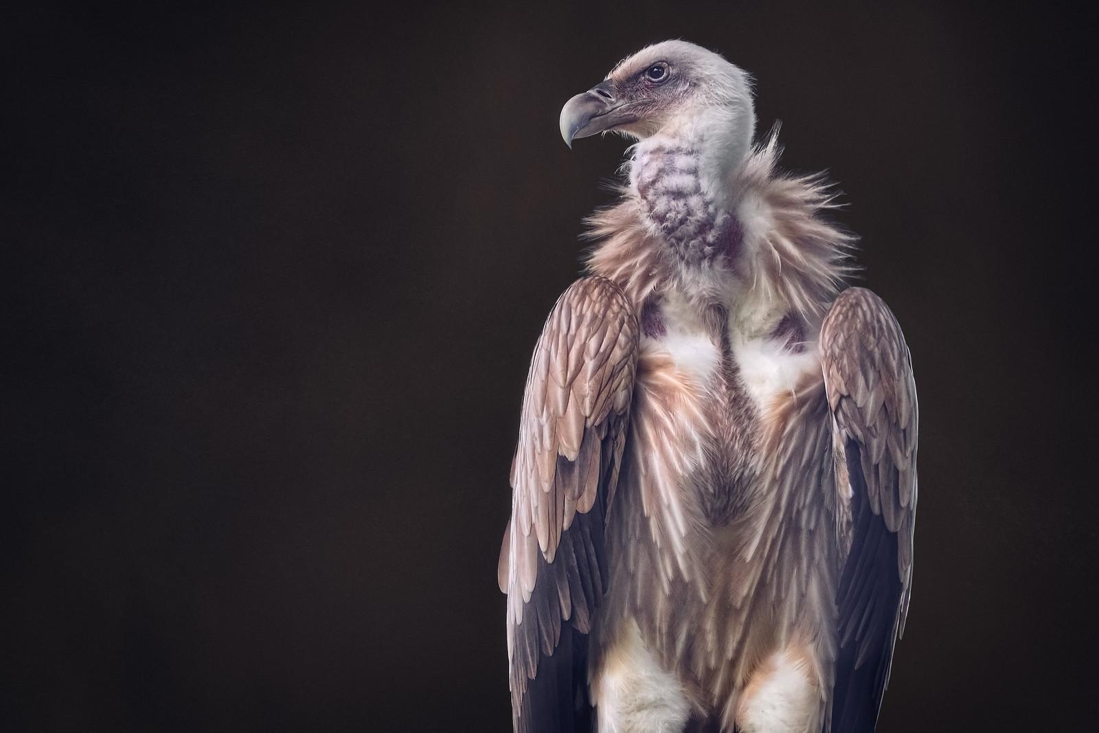 Himalayan Griffon Vulture Bird