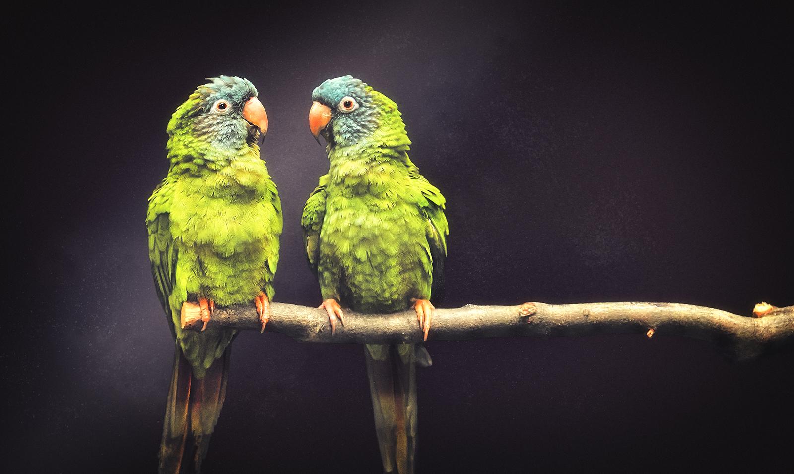 A Pair of Green Parrots