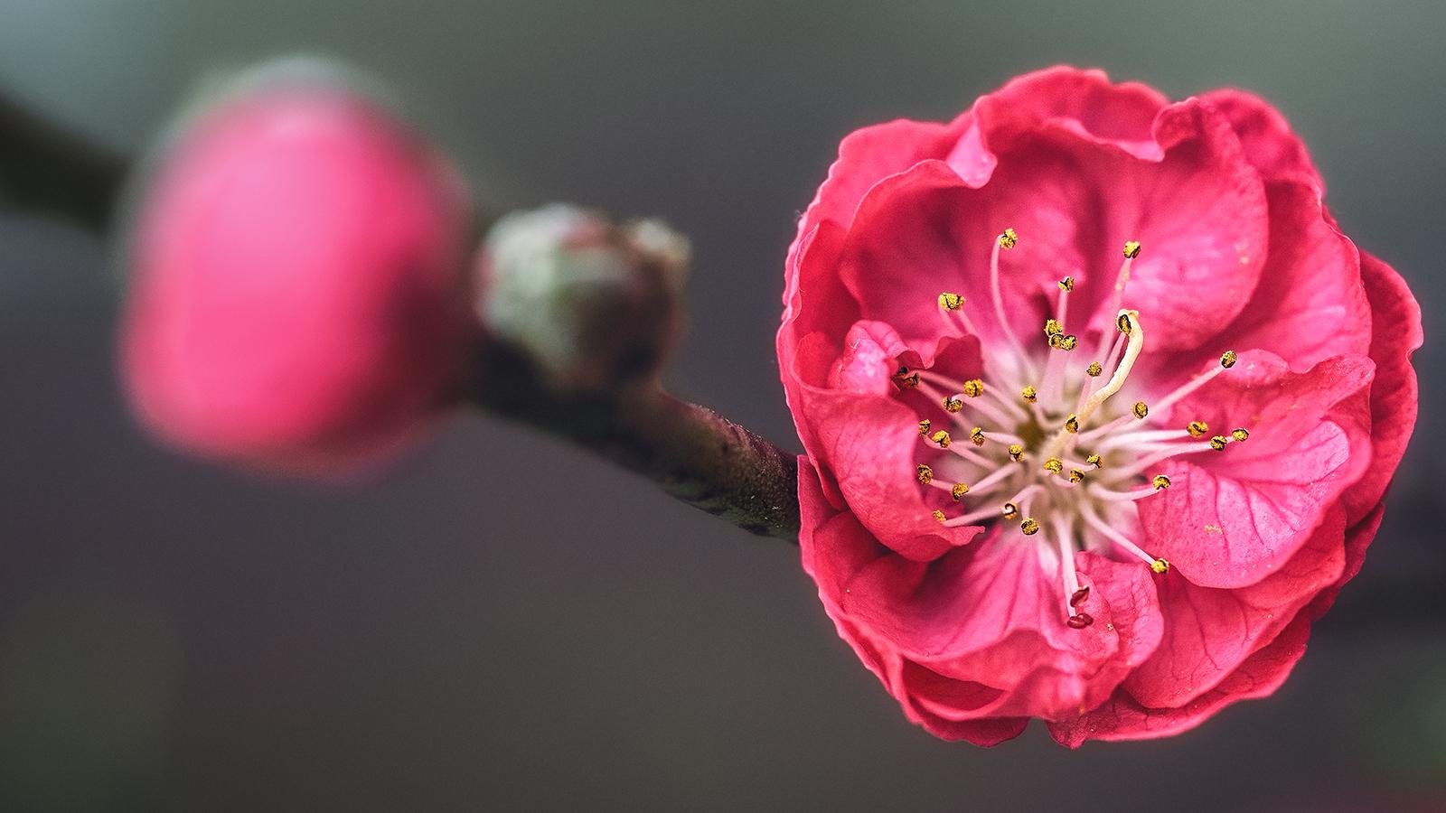 Pink Cherry Blossoms Sakura Flowers