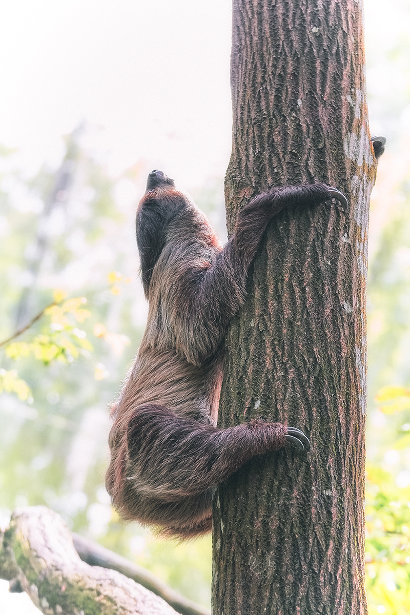 Two-toed Sloth Climbing Tree