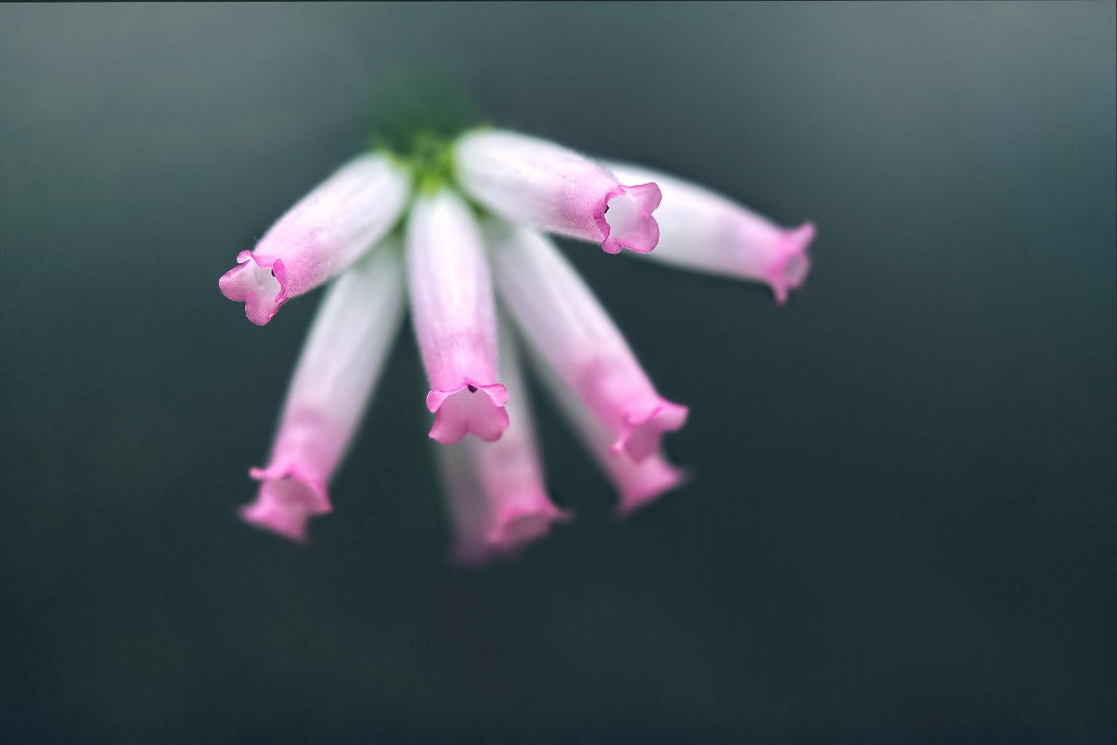 Beautiful Pink Flower Tips