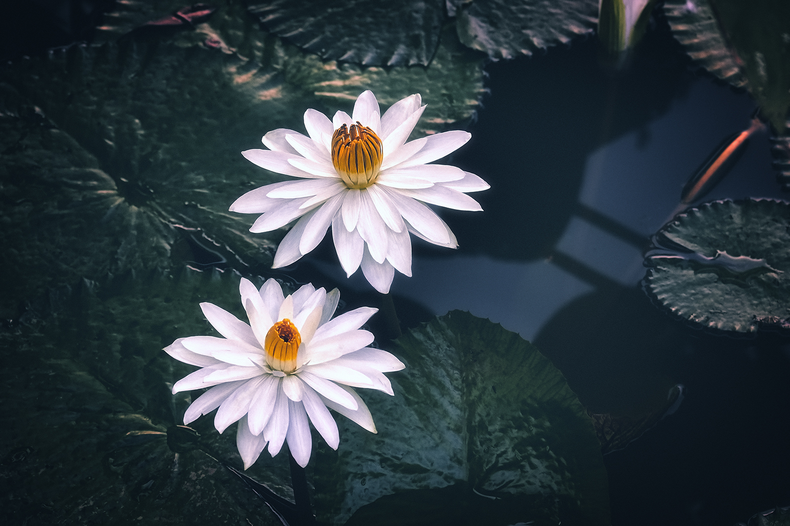 A pair of White Lotus in the Pond
