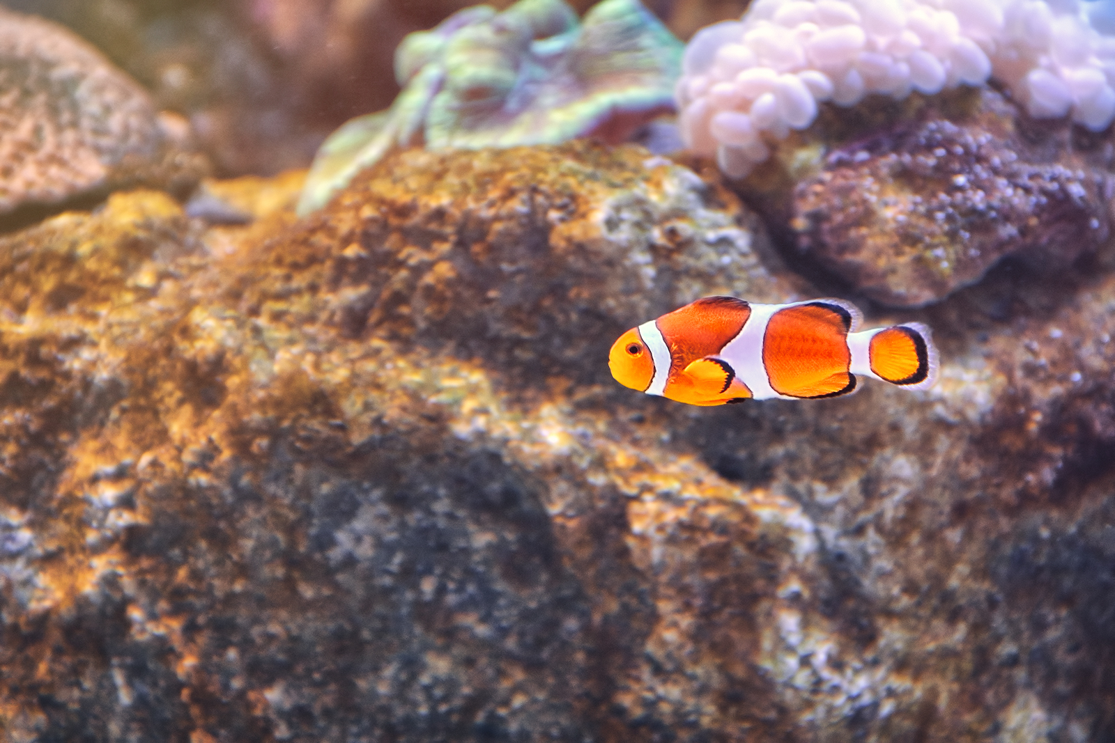 Clownfish Anemonefish or Nemo