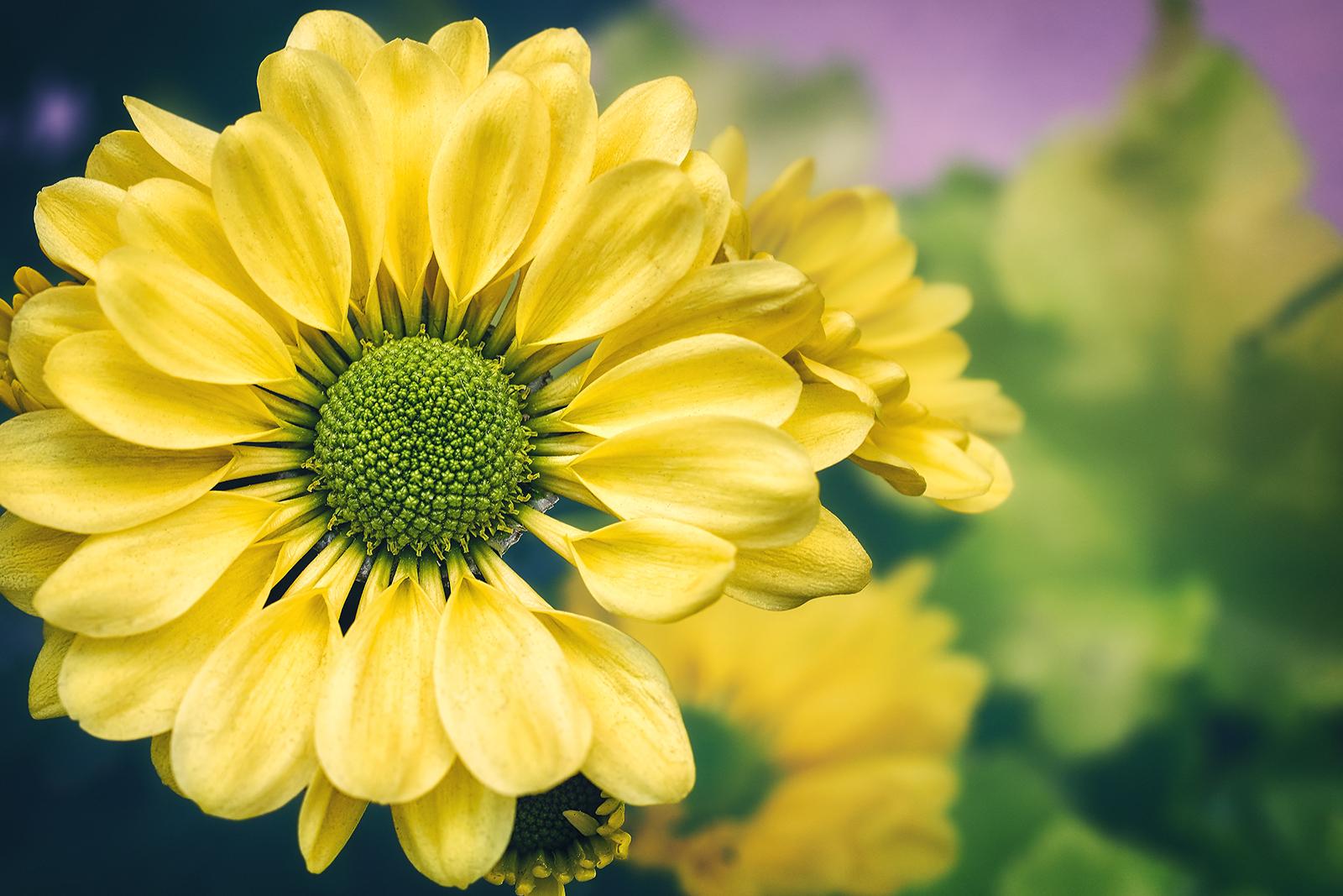Closeup of a Yellow Chrysanthemum Flower