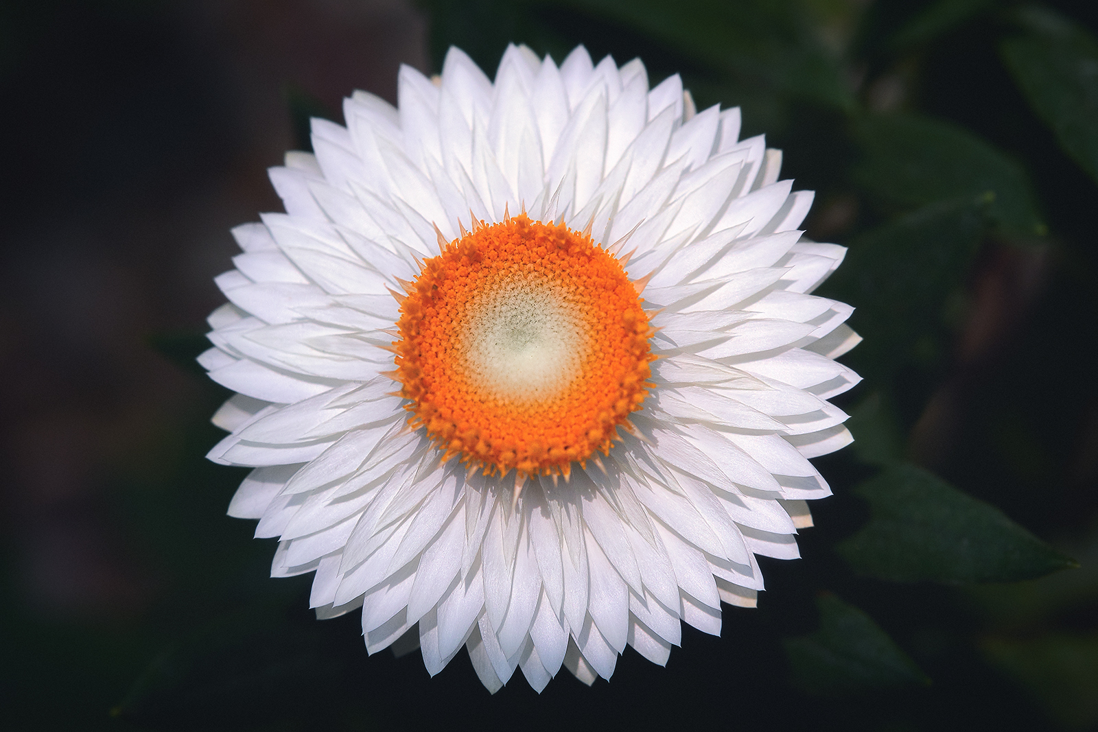 White Flower with many Petals